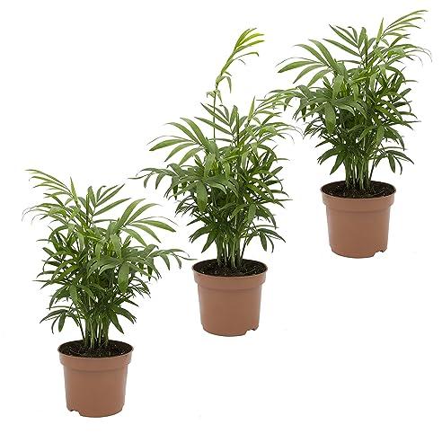 pflanzenservice zimmerpalme chamaedorea elegans breitblttrig 3 pflanzen ca 40 cm hoch - Wohnzimmer Pflanzen Schattig