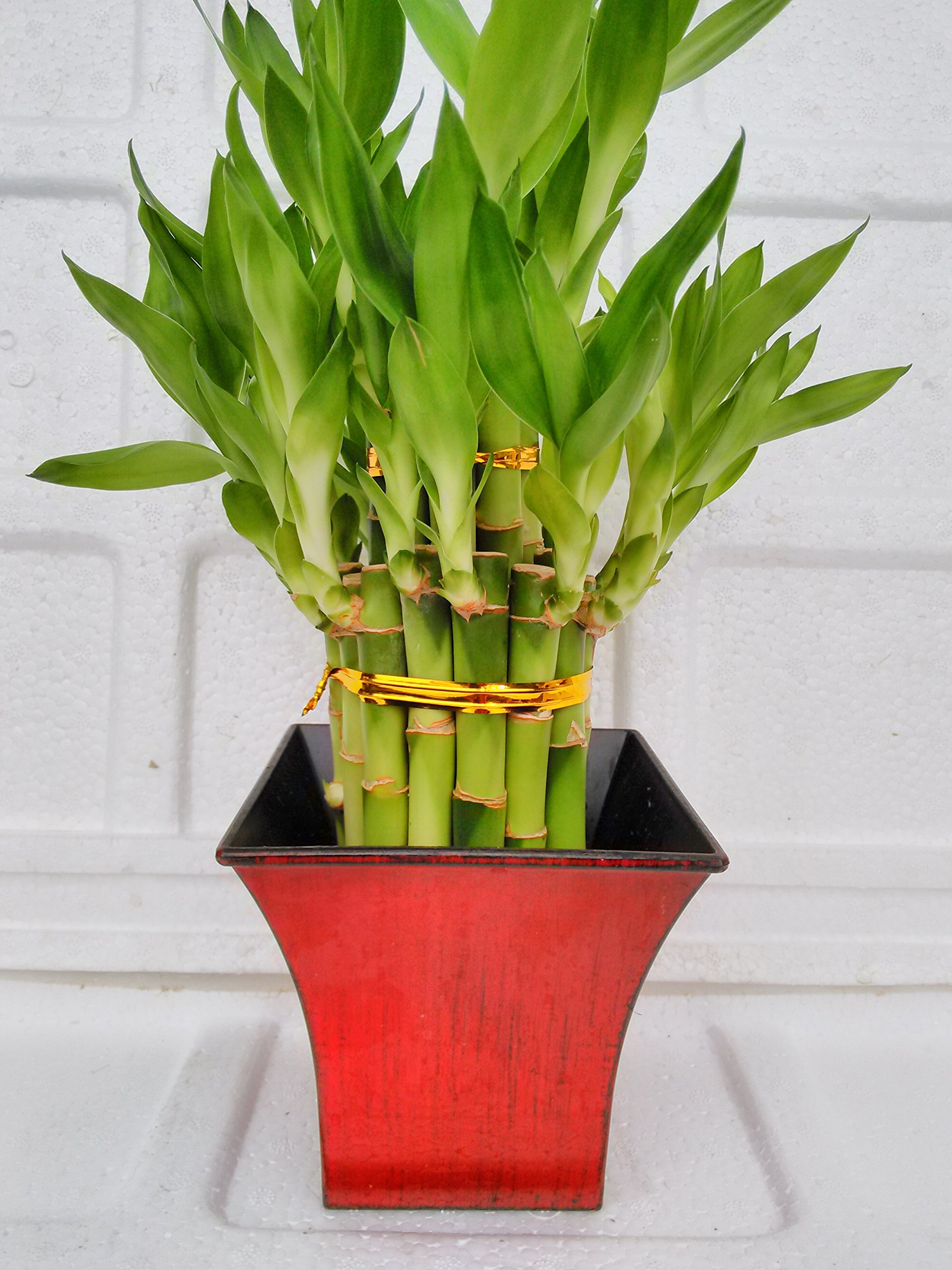 Jmbamboo 2 Tier Lucky Bamboo - 6'' & 4'' Lucky Bamboos in 2 Tiers -With 5'' Vase Color Fuchsia