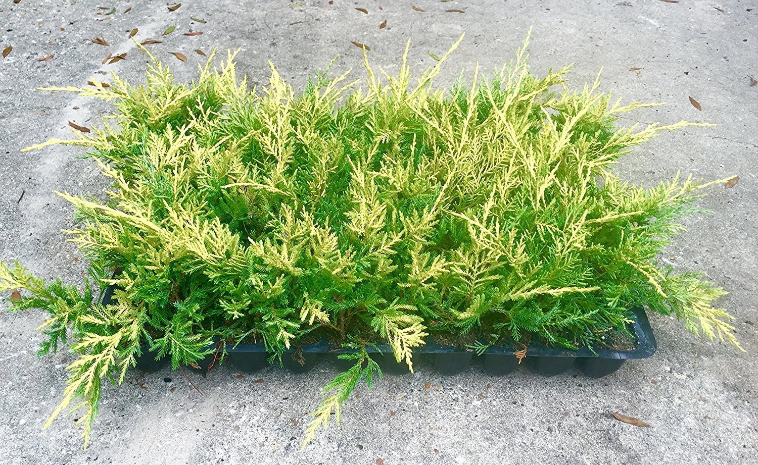Saybrook Gold Juniper Qty 30 Live Plants Groundcover