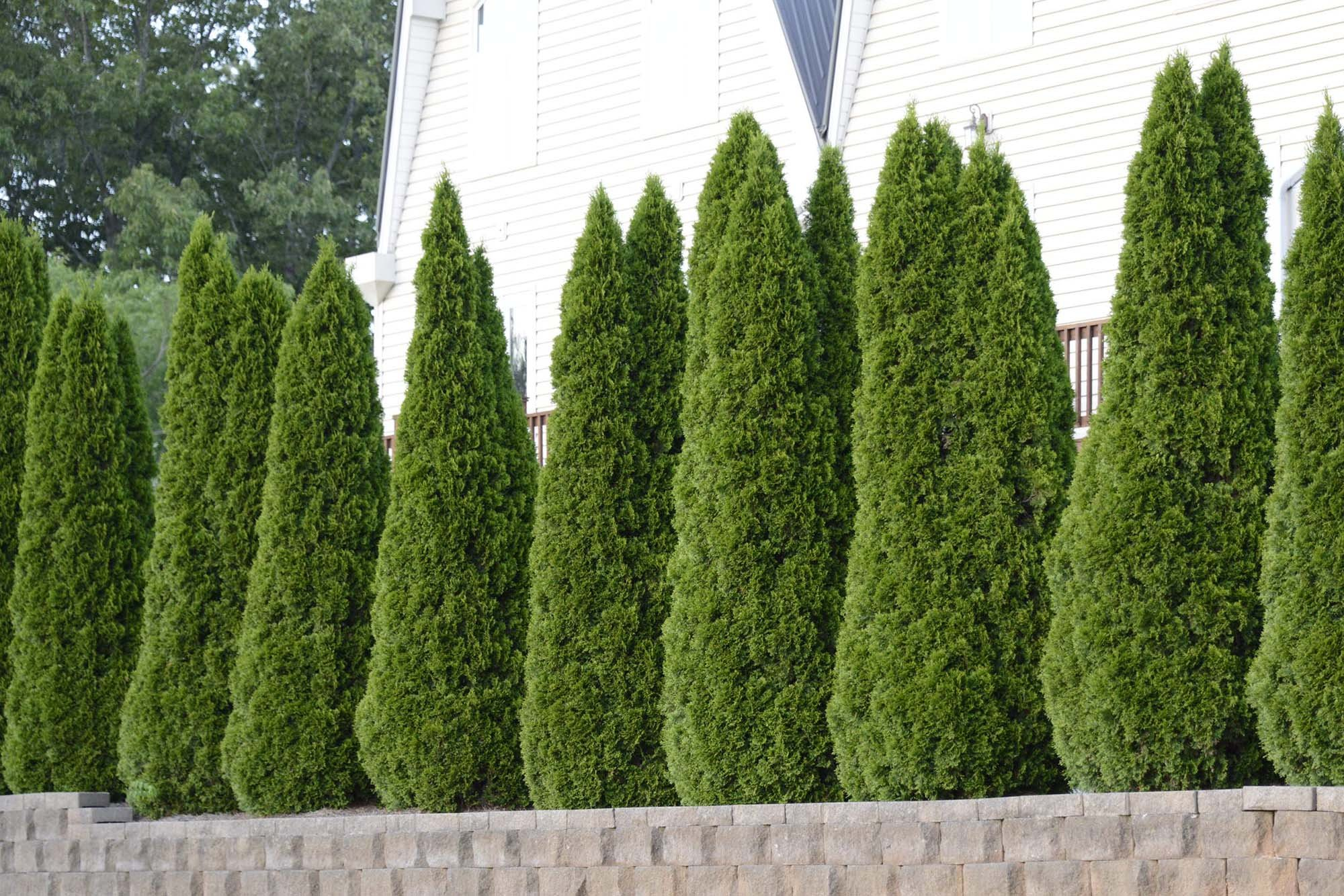 Thuja Emerald Green Arborvitae - 60 Live Plants - 2'' Pot Size - Evergreen Privacy Tree by Florida Foliage (Image #3)