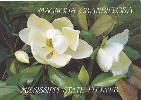 Amazon Com 1 States05mis Magnolia Grandiflora Mississippi State Flower This Particular Magnolia Grows As A Very Large Tree With Shiny Leathery Leaves That Are Evergreen A U S State Postcard