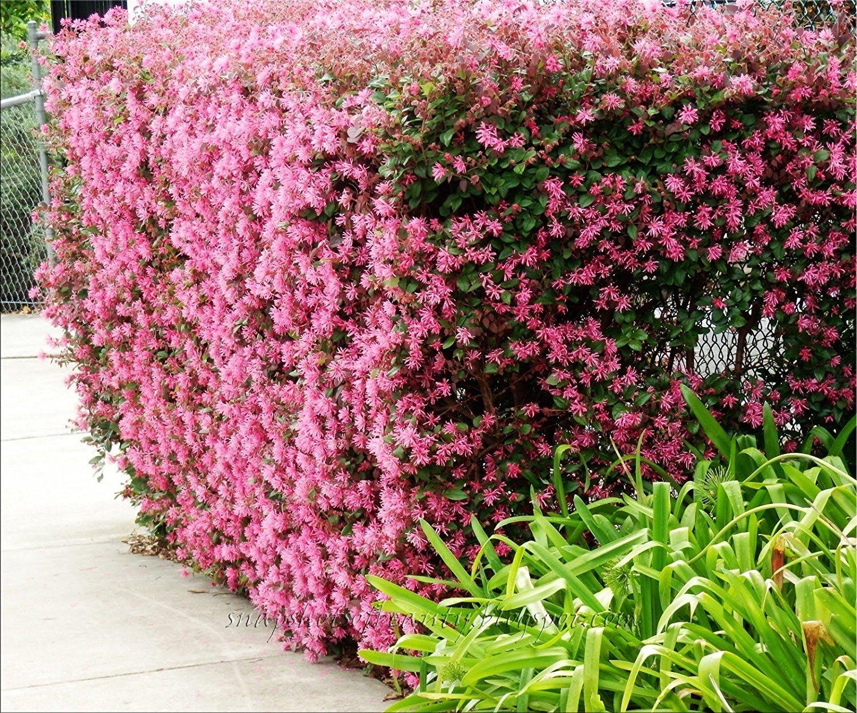 Amazon Loropetalum Chinese Fringe Flower Plum Delight Qty 40