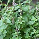Package of 500 Seeds, Holy Basil / Tulsi (Ocimum sanctum) Non-GMO Seeds By Seed Needs