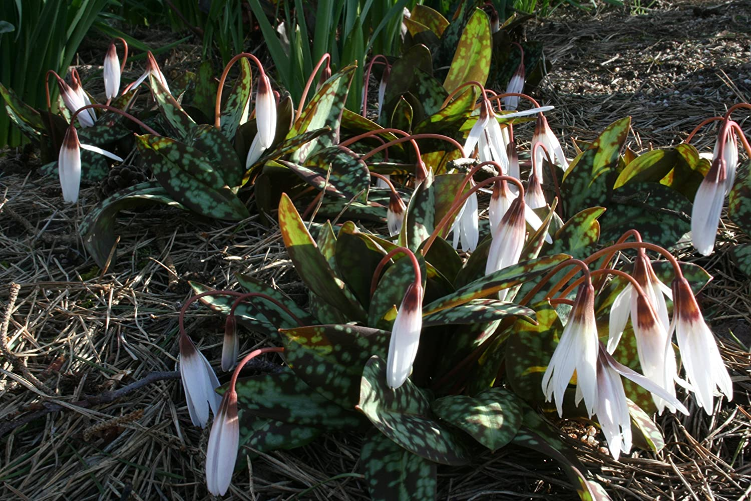 a garden tested Erythronium dens-canis Snowflake hardy perennial plant cultivar supplied in a half litre pot