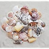 "Tumbler Home Beach Sea Shells – Approx. 50 Shells in Mixed Colors & Sizes 1"" to 3.5"" – 1 LB in Net Bag – Beach Decor"