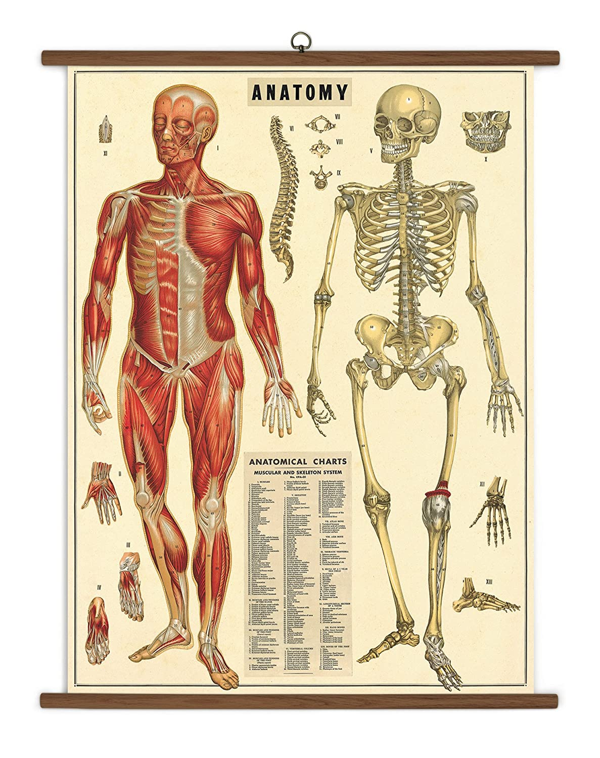 Amazon.com: Cavallini Papers Anatomy Vintage School Chart: Home ...