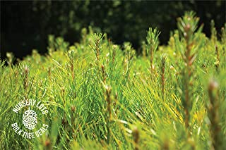 product image for Yellow Mountain Pine | Lot of 30 Tree Seedlings | The Jonsteen Company