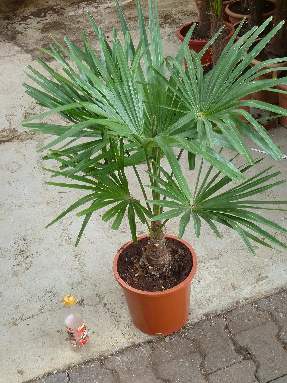 17/°C - Winterharte Palme -Trachycarpus fortunei- 110 cm Stamm 20//30 cm//Chinesische Hanfpalme Palmenlager