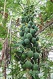 青パパイヤ 無農薬栽培 (1kg(1~2個))