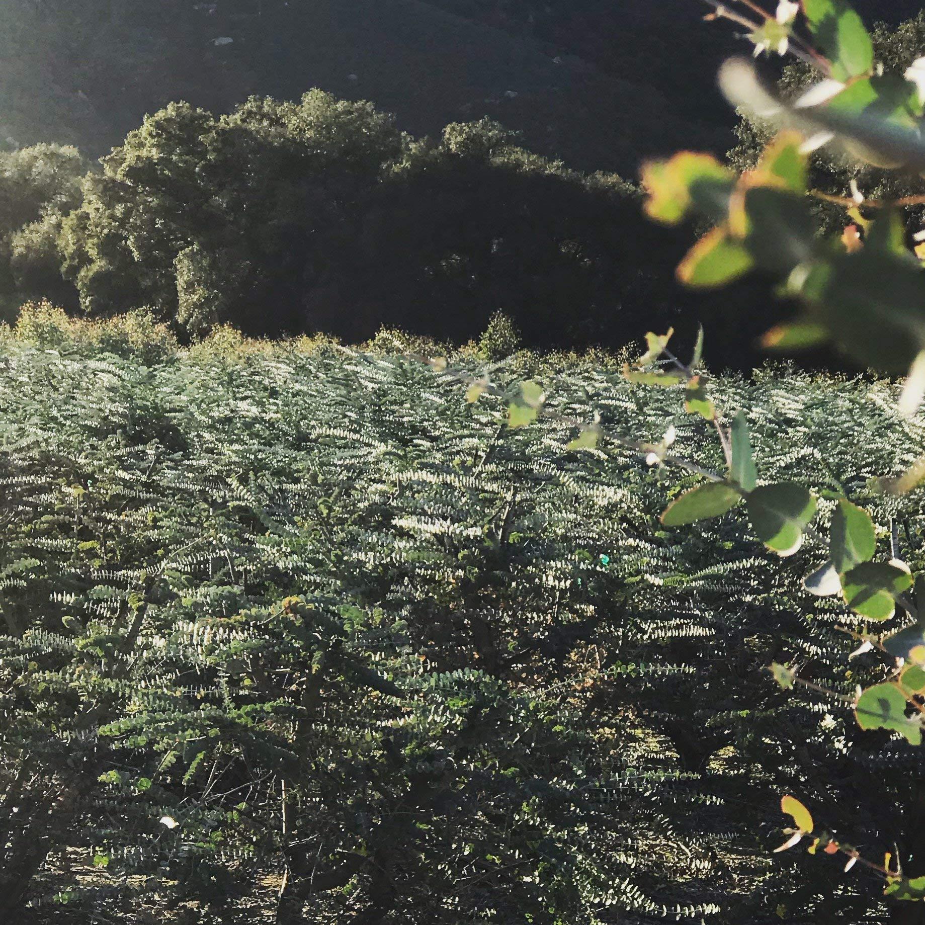 Fresh Eucalyptus (Regular Bunch), Fresh Eucalyptus Shower, Aromatherapy, Asthma, Baby Blue Eucalyptus, Silver Dollar Eucalyptus, Spiral, Shower Bath Plant, Weddings by MovaGarden (Image #2)