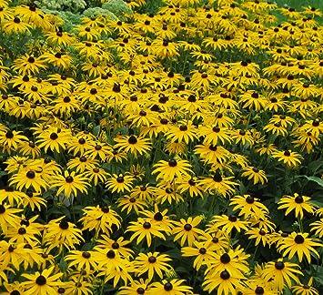 56fcb5e78cd30 Foerster-Staude Sonnenhut Goldsturm im 4er-Set gelb blühend Staude Sonne Rudbeckia  fulgida var