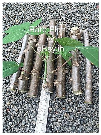 Amazon.com: Tapioca, Manihot Esculenta o Cassava (5 pulgadas ...
