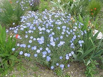 150 Graines Fleurs De Lin Vivace Bleu Linum Perenne Amazon Fr Jardin