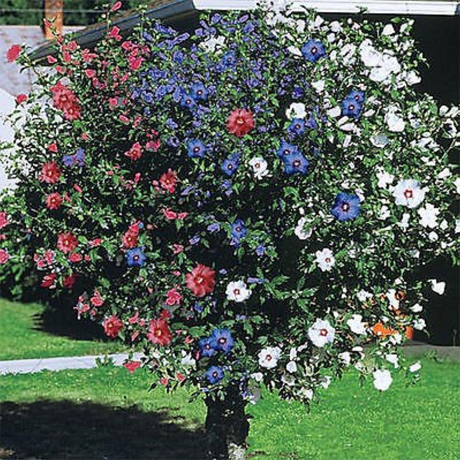 SHRUBS ONE PLANT 3 COLORS 3 IN ONE ROSE OF SHARON HIBISCUS TREE 1-2 FT