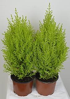 Lemon Scented 6 X Cupressus Goldcrest Wilma Evergreen Conifer by Sunnyside Nurseries 10.5cm Pot