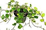 9GreenBox - Creeping Fig Plant - 3'' Pot