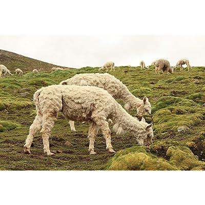 Southern Subtropics Alpaca/Llama Pasture Blend (1 Acre) : Garden & Outdoor