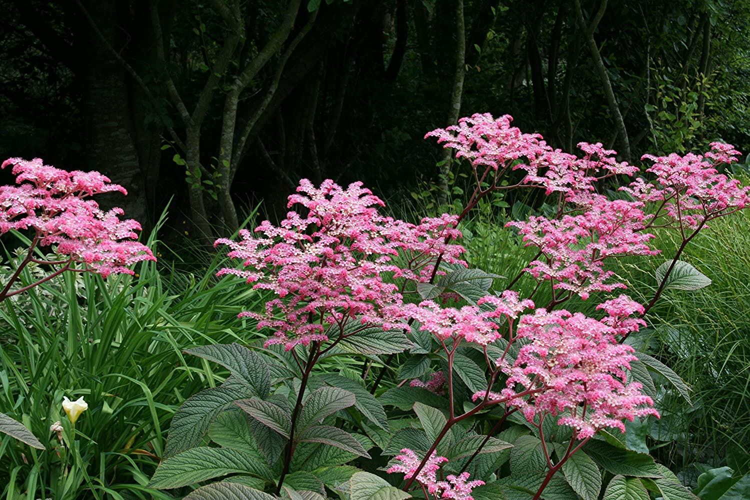 Rodgersia pinnata Chocolate Wing hardy perennial plant supplied in a half litre pot a garden tested