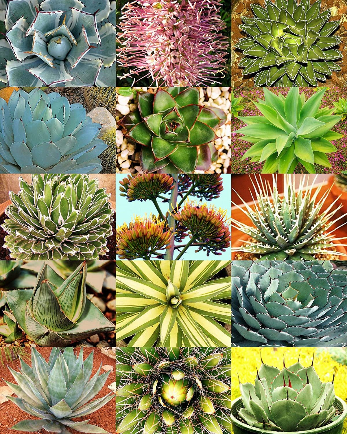 Amazon Com Agave Variety Mix Rare Plant Exotic Garden Desert
