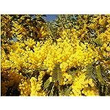 Acacia Dealbata Gaulois Astier Amazoncouk Garden Outdoors
