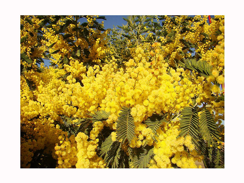 Silver Wattle Or Mimosa Acacia Dealbata Young Plant Masses Of