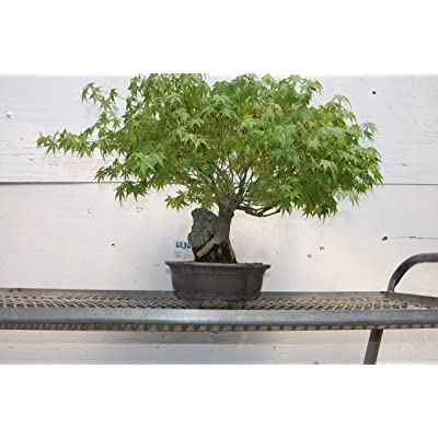 26 Year Old Japanese Maple Root Over Rock Specimen Bonsai Tree: Garden & Outdoor