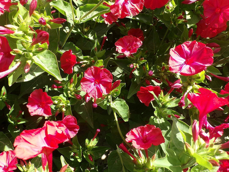 Amazon.com : Perennial Red Mirabilis Jalapa (Four O\'clock) Self-seed ...
