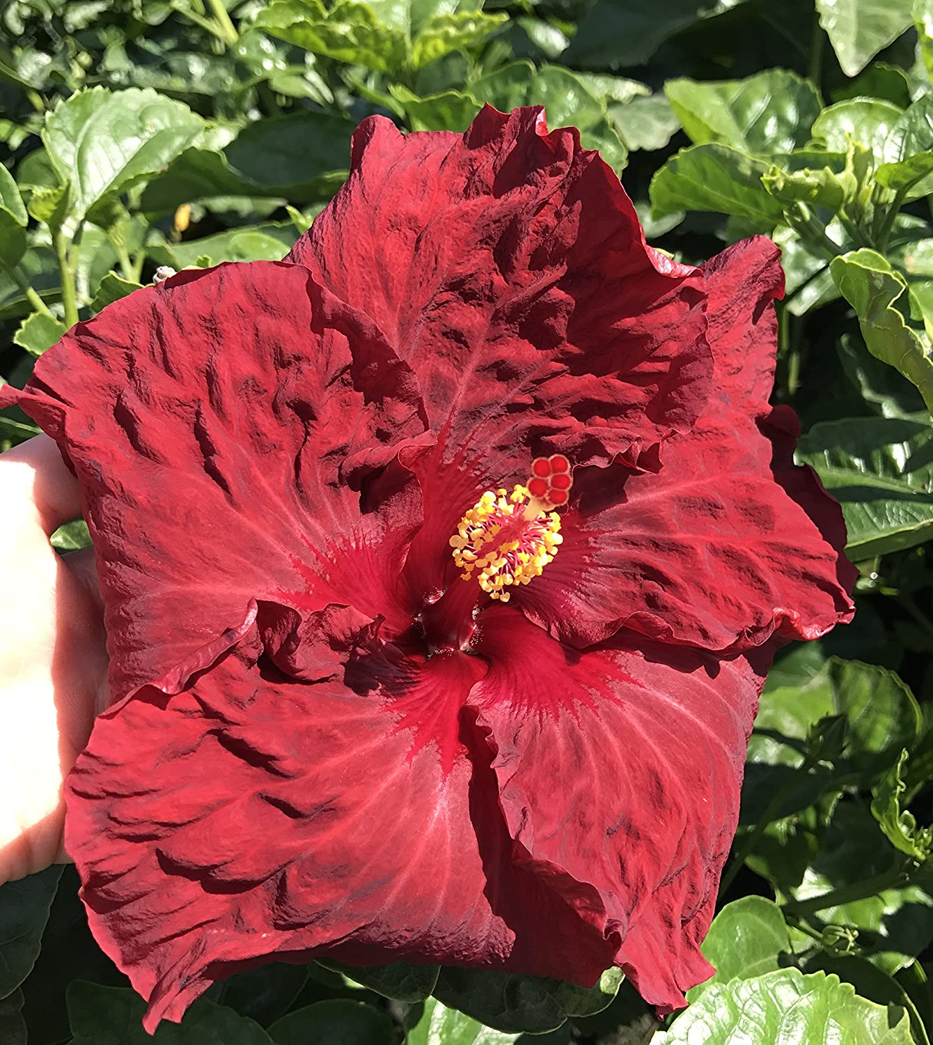 Amazon Exotic Hibiscus Red Ruby Red Flowers Live Plant