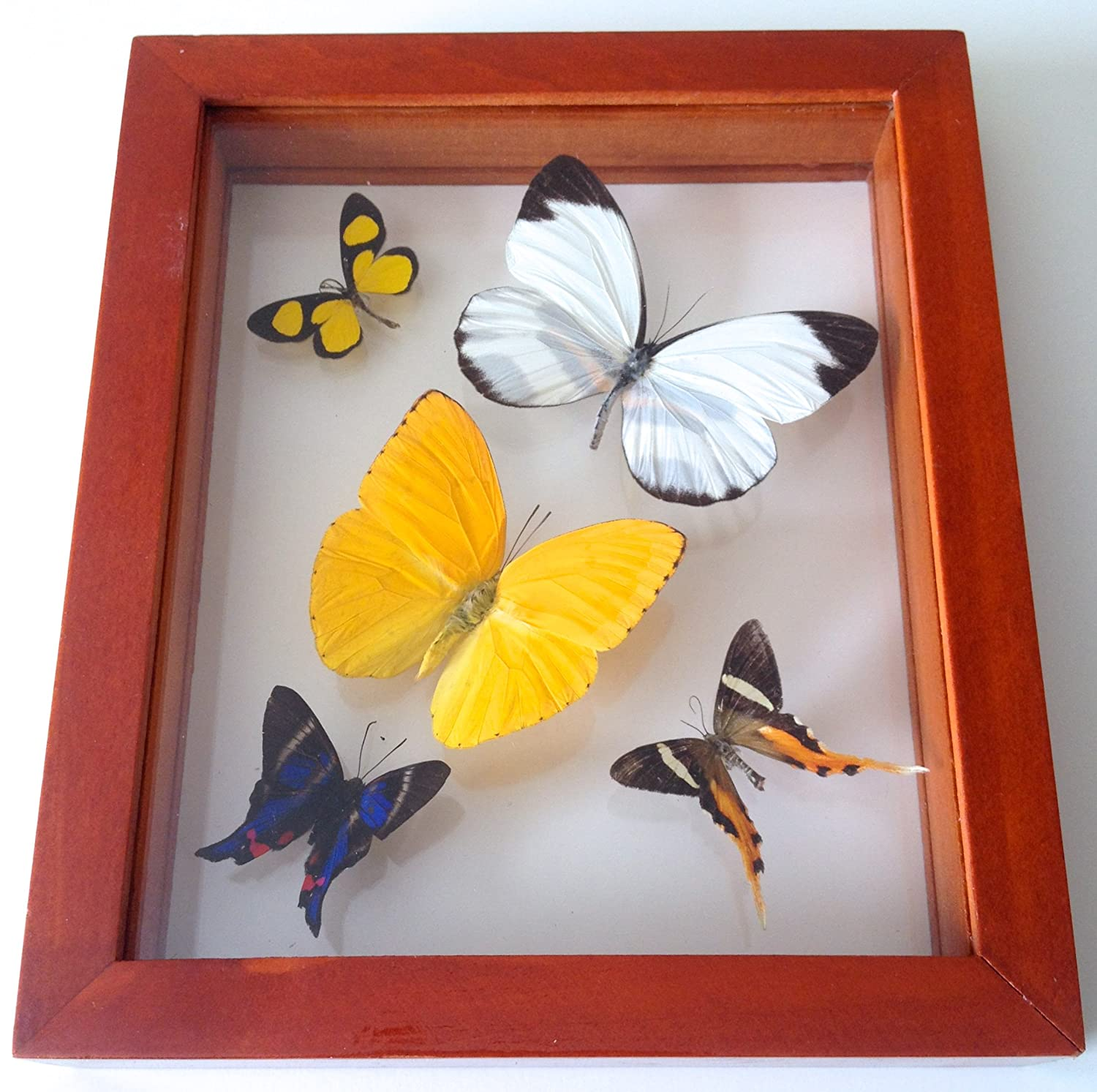 Amazon.com : 5 Real Framed Butterflies Mounted in Double Glass Sided ...