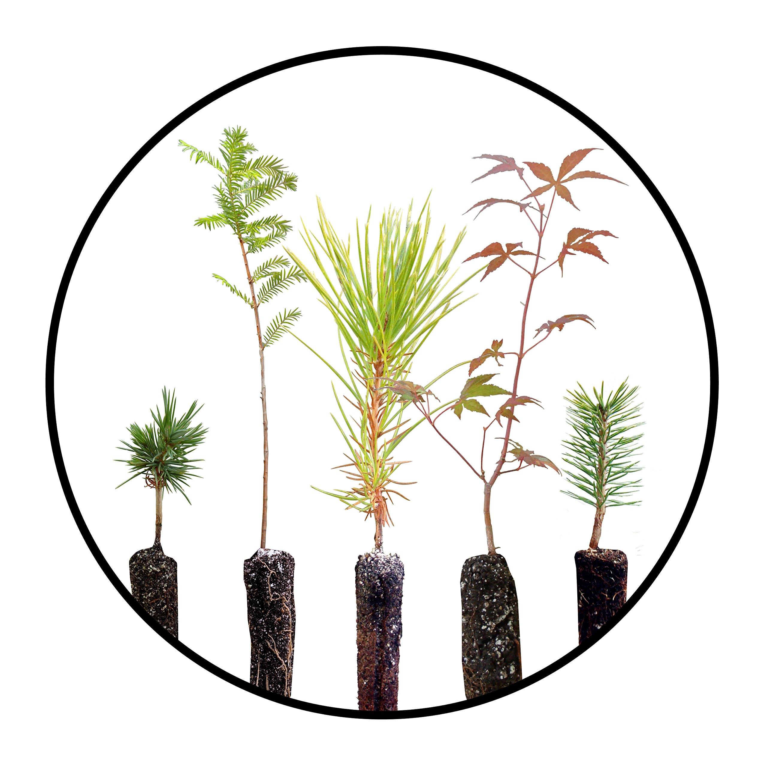 Bonsai Tree Bundle | Collection of 5 Live Tree Seedlings | The Jonsteen Company