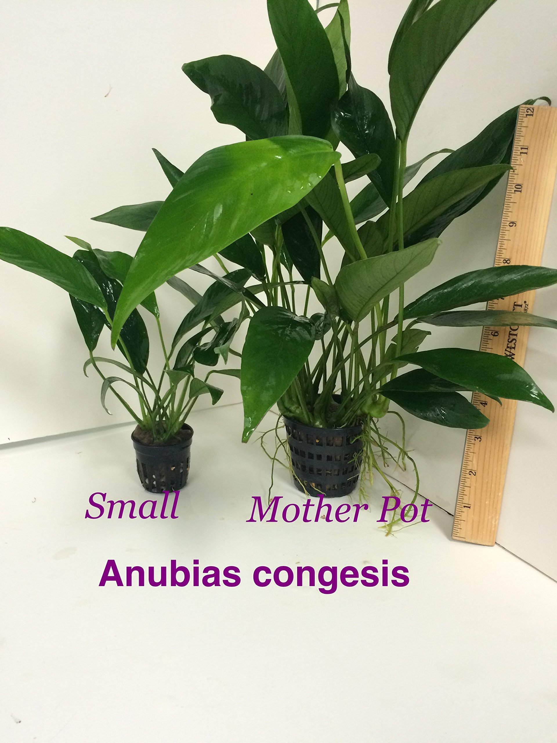 Anubias congensis Mother Pot Plant M005 Live Aquatic Plant by Jayco (Image #4)