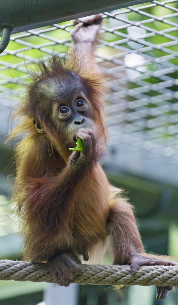 Orangutan Wallpaper Hd Wallpapers Of Orangutans