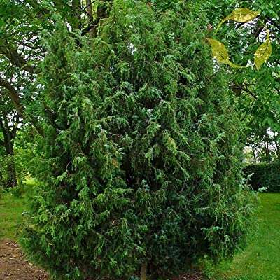 Common Juniper Juniperus Communis - 25+ Seeds : Garden & Outdoor