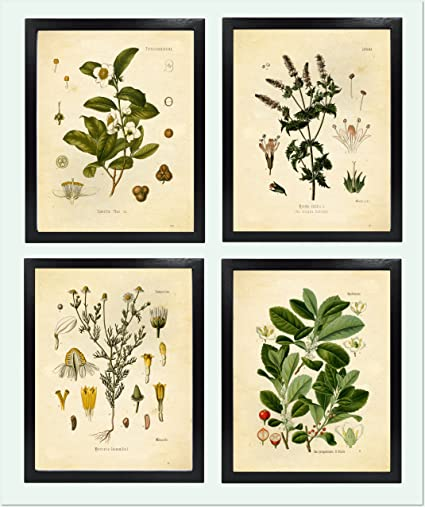 Ink Inc  Tea Herbalism Herbs Vintage Botanical Art Prints – Set of 4 – Tea,  Mate, Chamomile, Mint – 8x10 Matte Unframed