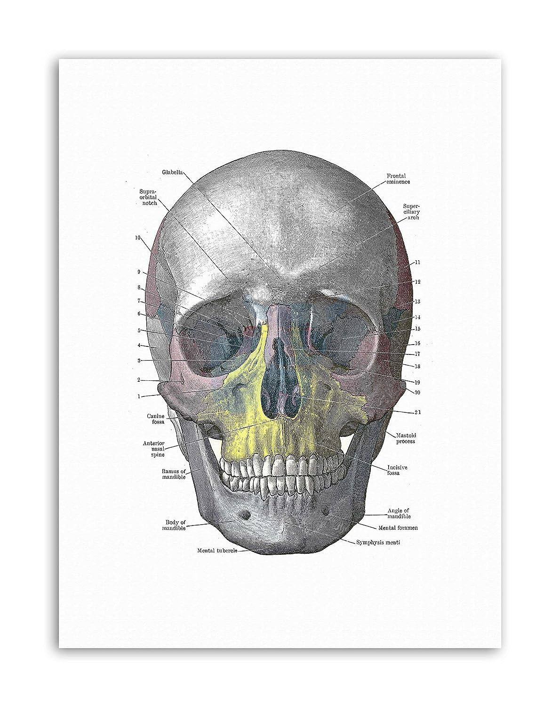 Amazon Wee Blue Coo Diagram Human Skull Bone Anatomy Painting