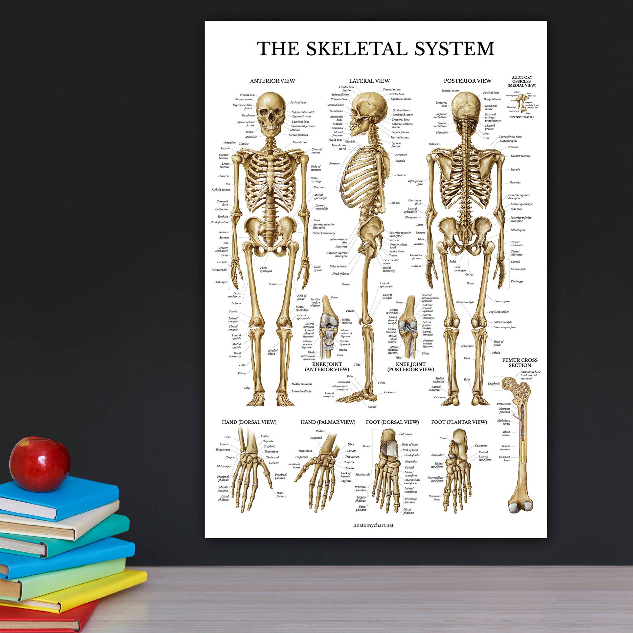 Skeletal System Anatomical Chart - LAMINATED - Human Skeleton ...