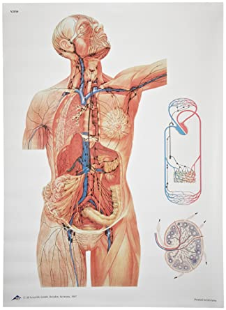3b Scientific V2054u The Lymphatic System Anatomical Chart Without