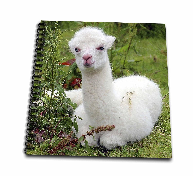 3dRosa, Alpaka, Lama. Südamerika, Weiß, mehrfarbig, 30,5 x 30,5 cm B072551L6V  | Bekannt für seine schöne Qualität