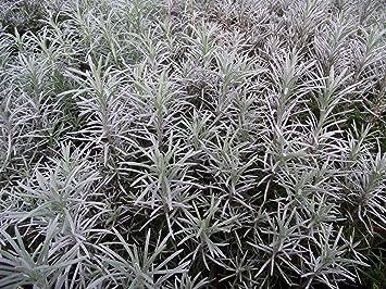 3 Dwarf Curry Plant Helichrysu Italicum Aladin Herbs Young