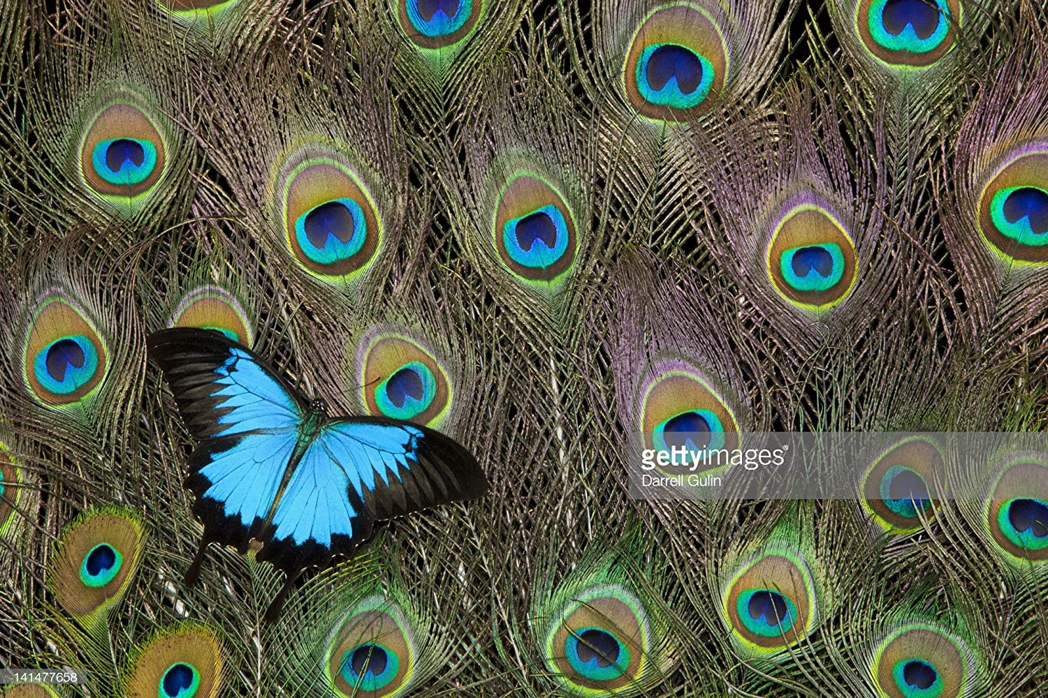 Getty Images Peacock Feathers & Blue Butterfly 写真 48x32 141477658 B07GZ3HTPS 48x32|アクリル  48x32