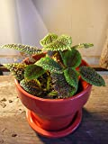 Moon Valley aka Pilea Mollis Live plant - Fit 4 Inch pot - w FREE GIFT per request - From Bellacia Garden