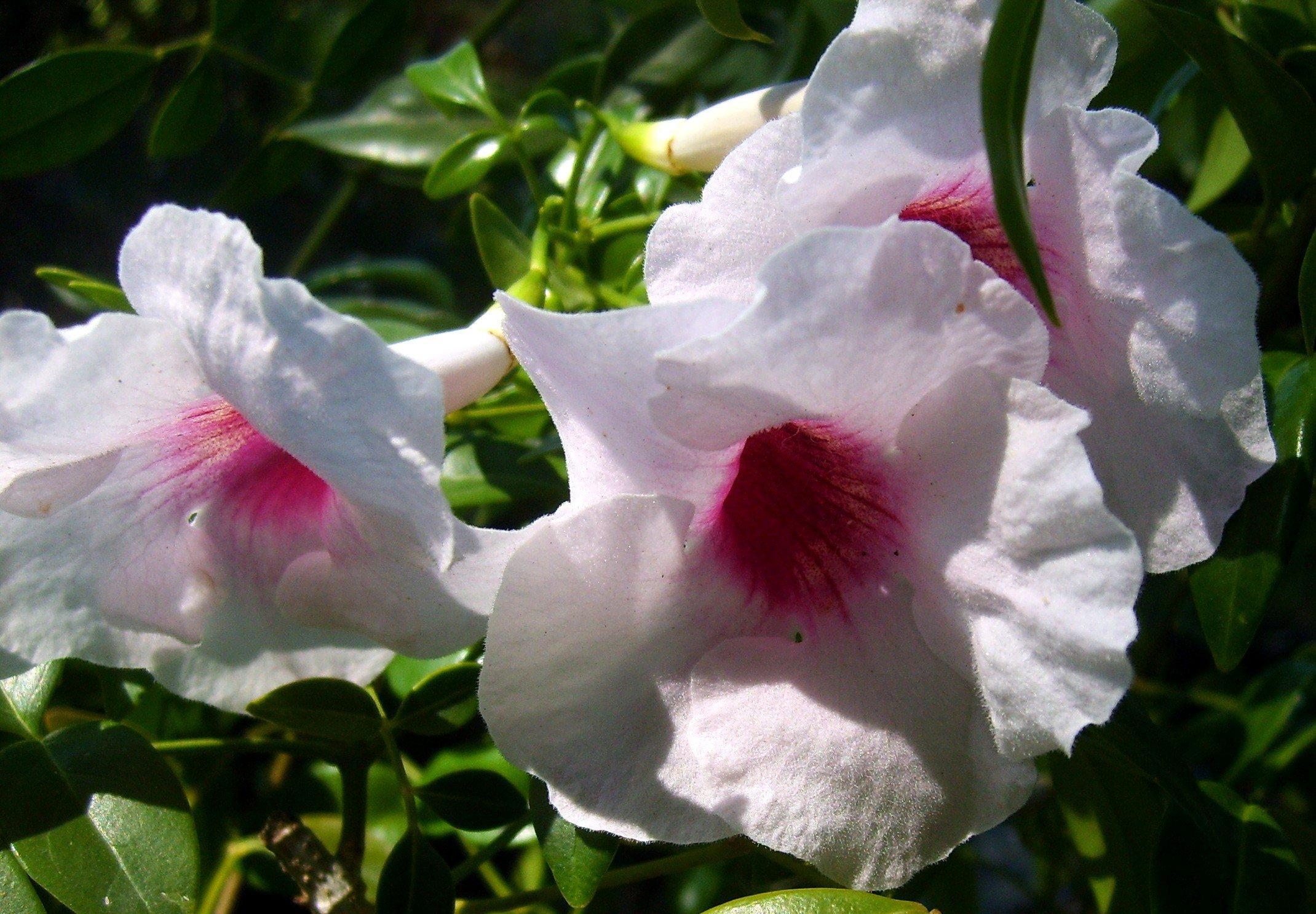 PINK PANDORA Live Vine Plant Pandorea jasminoides Romantic Fragrant Trumpet Flower Climbing Semi Tropical Starter Size 4 Inch Pot Emeralds TM