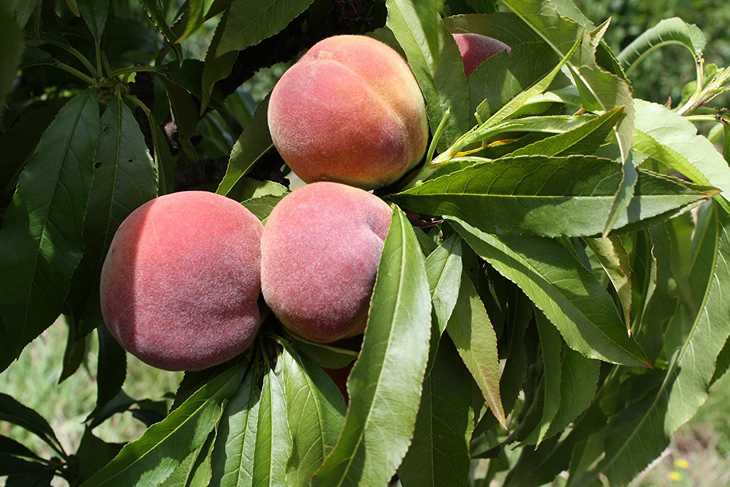 """Picture of Rare Dwarf Peach Live Plant Fit 4"""" Pot - Rare Indoor Plant - Only Max Height 3 Feet"""