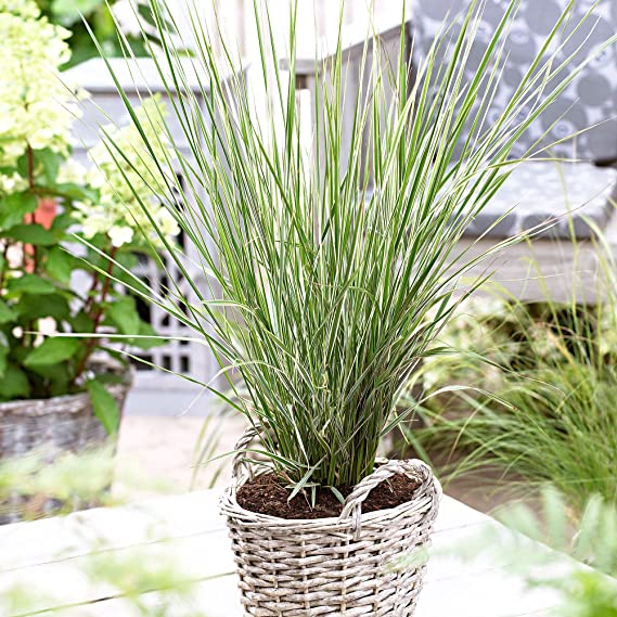 ab 3,19 pro St/ück 1 x Calamagrostis acutiflora Overdam1 Liter Ziergras//Gr/äser//Stauden