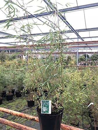 Bamboo Plants. Bamboo Fargesia Robusta Campbell 5 Litre Pot: Amazon ...