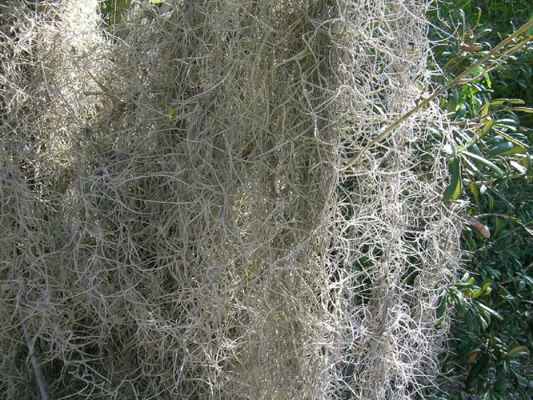 FRESH SPANISH MOSS for crafts, displays, costumes, and floral arrangements … (50lb) by Diamondback