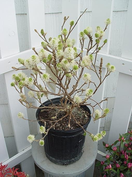 Amazon fothergilla major mt airy fothergilla shrub white fothergilla major mt airy fothergilla shrub white flowers 2 mightylinksfo