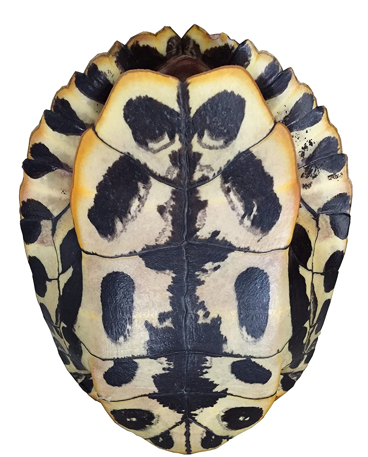 Amazon.com: Estanque Turtle Shell (7 – 8 inches) (Natural ...
