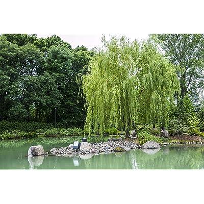 Weeping Willow cuttings (3) : Garden & Outdoor