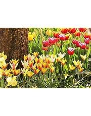 Floriana Collection 100 bulbi da fiore di TULIPANI A COLORI CHIARI a fioritura primaverile del valore di €50.